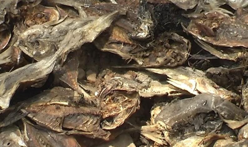 Matadi : Arrestation des habitants de Boko et Kionzo qui ont déterré des poissons ayant échappé à l'incinération