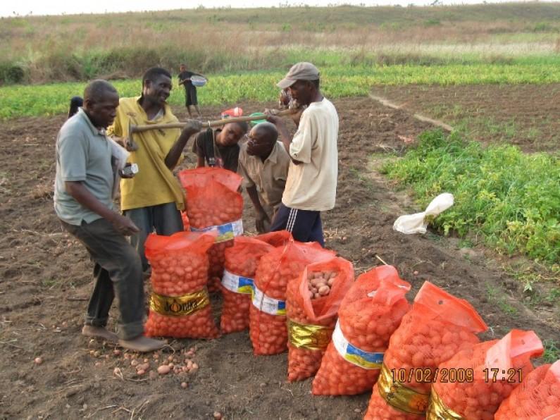 Mbanza-Ngungu : deux nouvelles variétés de pomme de terre révolutionnent le rendement des maraîchères