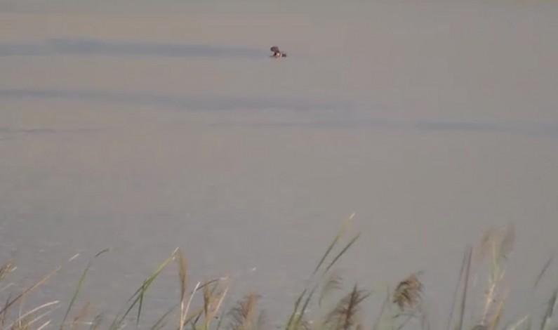 Lualaba :des hippopotames dévastent les champs des paysans à Kipepa